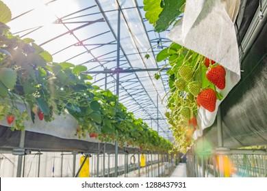 Scenery of vinyl house of strawberry farmer
