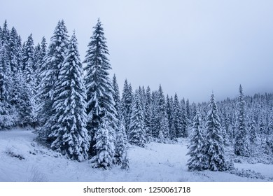 Scenery winter forest with snowy fir trees. Winter landscape. Christmas holiday background.