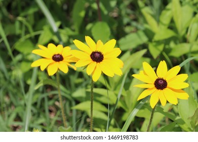 Scenery with the yellow flower of the rudbeckia
