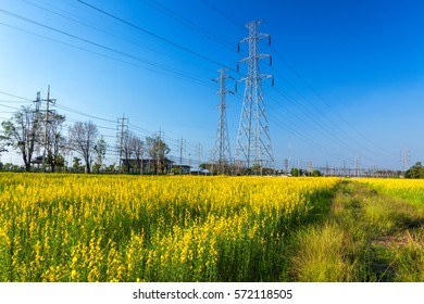 Scenes look at the flowers sunhemp with electric pole.