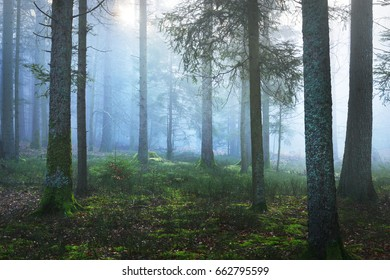 Scenic dark and misty pine forest with moss. French Alsace