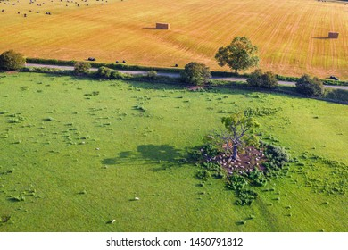 Scenic farming fields with sheep gathered under the shade of old tree. Aerial few in Shropshire, United Kingdom