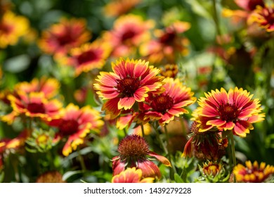 Scenic flowering Gaillardia( gaillardia pulchella) in macro