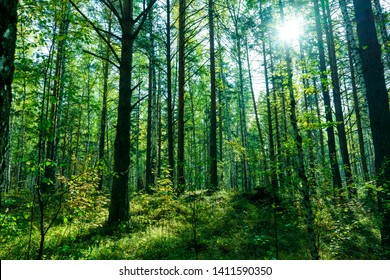 Scenic Forest of Fresh Green Trees, Morning in the Forest, Beautiful Park, Summer Landscape, Birch Grove Summertime Spruce Forest Landscape