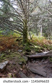 A scenic, high elevation tree in an alpine type forest in Mount Mitchell State Park in North Carolina meandering through thick trees, dappled sunlight, rocks, decaying logs, moss and lichen