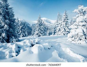 Scenic image of fairy-tale woodland in sunlit. Frosty day on ski resort. Location Carpathian national park, Ukraine, Europe. Explore the beauty of earth. Creative toning effect. Happy New Year!