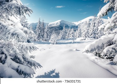 Scenic image of spruces tree. Frosty day, calm wintry scene. Location Carpathian, Ukraine Europe. Ski resort. Great picture of wild area. Explore the beauty of earth. Tourism concept. Happy New Year!