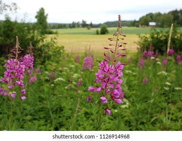 Scenic landscape, blooming fireweed, Epilobium angustifolium in the foreground