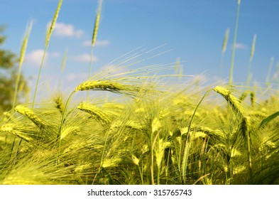 Scenic landscape with ears of barley against the sky in gold tones (harvest, abundance, prosperity, wealth - concept)