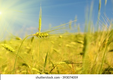 Scenic landscape with ears of barley against the sky in the sunlight in gold tones (harvest, abundance, prosperity, wealth - concept)