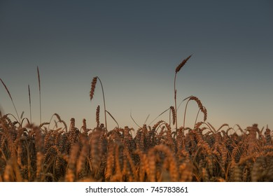 scenic landscape with field full of wheat during sunset