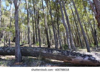 Scenic landscape of  the jarrah trees viewed from the rough bush track along edge of the  national park  adjoining  Harvey Dam Western Australia on a hot sunny summer afternoon.
