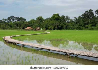 Scenic landscape of paddy Rice field with curve bamboo wooden bridge walking trail and hut in the morning at rural during rainy season, Nakhon Nayok Province, Thailand