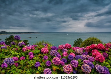 Scenic landscape in Perros Guirec, Brittany in France, with vivid pink and violet hyndrangea blooming flowers at Trestraou beach near Atlantic ocean with stormy clouds in background