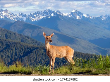 Scenic landscape view with a deer stood regally in grass in front of the Olympic Mountain range  in Washington State and its snowed capped peaks on a sunny day with fluffy clouds in the sky