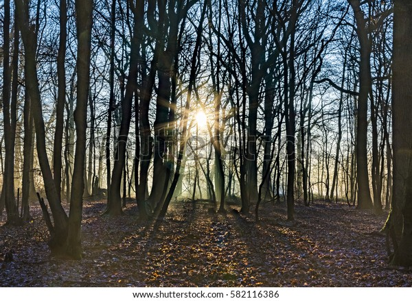 scenic oak forest in sun at winter time