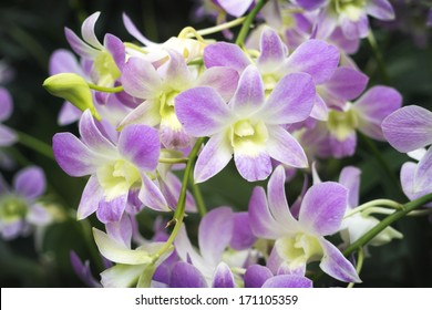 scenic orchids from National Orchid Garden of Singapore with focus on front central flowers