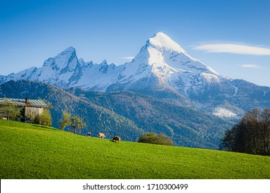 Scenic panoramic view of idyllic alpine mountain scenery with peasants and grazing cows in fresh green meadows around rural farm houses and snow-capped mountain peaks on a day with blue sky in spring