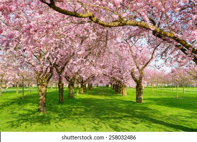 Scenic park with rows of blossoming cherry trees in spring on a fresh green lawn, shot on a nice sunny day