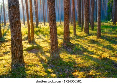 Scenic pine forest with mist in morning sunlight. Picturesque woodland with green moss. Forest landscape.