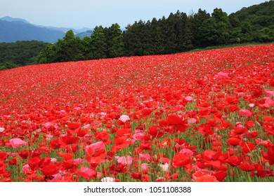 Scenic Poppies in the Sky of Japan (Tenku-no-Poppy) in  Chichibu-gun, Saitama Prefecture