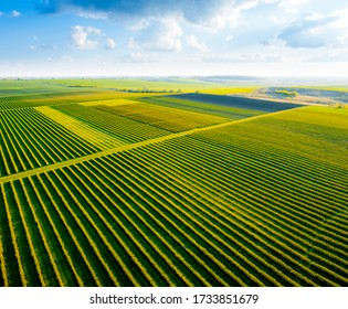 Scenic rows of blackcurrant bushes on a summer farm in sunny day. Aerial photography, top view drone shot. Agricultural area of Ukraine, Europe. Agrarian land in springtime. Beauty of earth.