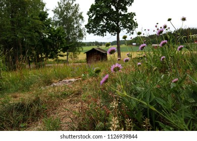 Scenic rural landscape, Field Scabious, Knautia arvensis in the foreground. Old outdoor sauna building in the background