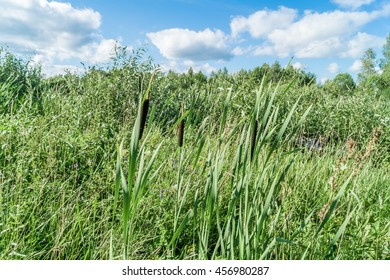 Scenic rural landscape with sedge warbled, typha and bulrush. Summer rural landscape with green grass and blue sky.