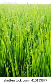 A Scenic Shot of the Paddy Field in Malaysia