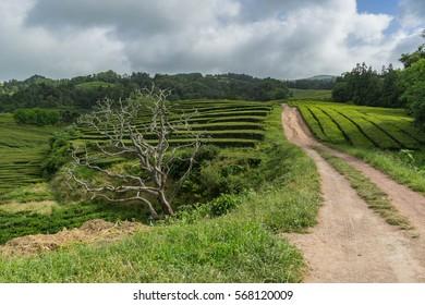 Scenic skeleton tree at the entrance to Gorreana Tea Plantation, Sao Miguel, Azores