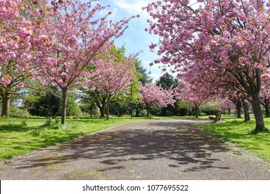 Scenic Springtime View of a Country Road Lined by Cherry Trees with Beautiful Flower Blossom