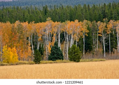 Scenic stand of aspen trees beyond a medow in Grand Teton National Park