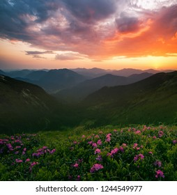 scenic summer dawn nature image, picturesque morning sunrise scenery, amazing blossom pink summer flowers on the hills of mountains, awesome floral nature background, vertical landscape