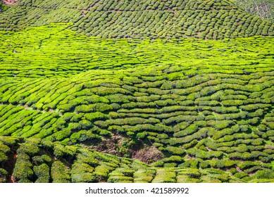 Scenic tea plantations in cameron highlands, Malaysia