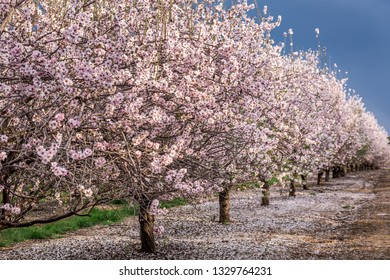 Scenic view of almond grove blooming with beautiful flowers in February near Monastery Of Silence - Latrun Trappist Monastery, Israel