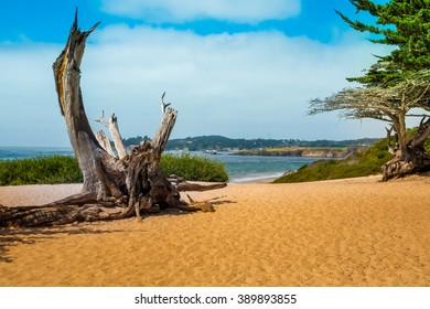 Scenic View at the beach in Carmel by the Sea with old pine roots and green trees