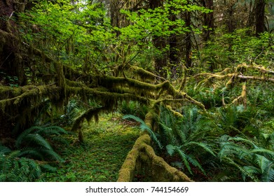 Scenic view of beautiful ever green forest in mt Olympic National park,Washington,USA. WA aka evergreen state.