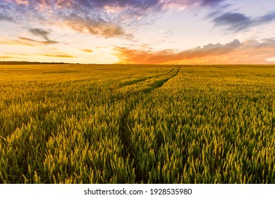 Scenic view at beautiful summer sunset in a wheaten shiny field with golden wheat and sun rays, deep blue cloudy sky and road, rows leading far away, valley landscape