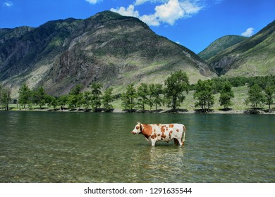Scenic view of a bull in the water and the valley of the Chulyshman river in Altai in Russia