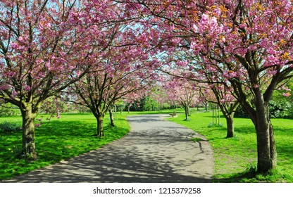 Scenic View of a Cherry Blossom Path through a Beautiful Landscape Garden