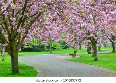 Scenic View of a Cherry Blossom Pathway through a Beautiful Landscape Garden Park