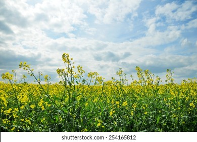 Scenic View of Crops Growing in a Farmland Field against a Beautiful Cloudy Sky