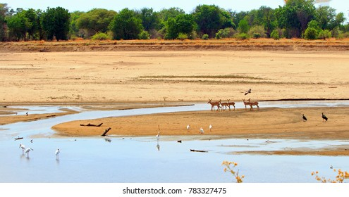 Scenic view of the Dry Luangwa River with Impala and various birds on the dry sand banks in South Luangwa National Park, Zambia