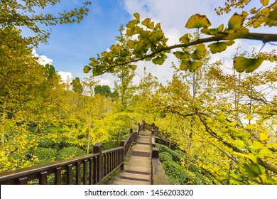 Scenic View of the Ginkgo forest, Deer Valley, Dalingshan, Nantou,Taiwan