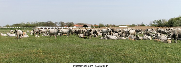 scenic view of grazing herd of Hungarian grey cattle