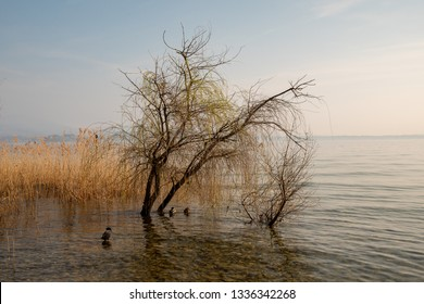 Scenic view of a lakeside with wild ducks resting among the  marsh plants and the reed (Phragmites australis), Sirmione, Lake Garda, Lombardy, Italy