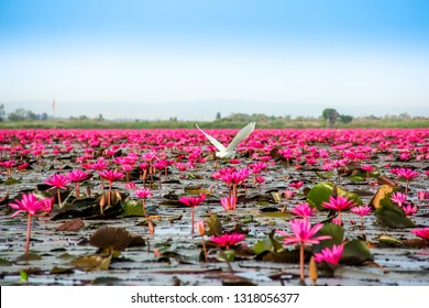 Scenic view landscape of Season travel  concept.Beautiful Nature Landscape red Lotus sea(lake) in the morning with fog blurred background in the bright day,Thailand, lotus, red lotus sea, Udon Thai.