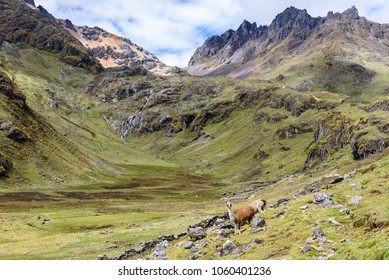 Scenic view of the Lares valley in Peru with llamas standing in front of a magnificent moutain backdrop