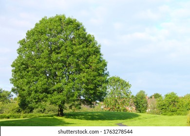 Scenic view of a large Ash tree in a Lancashire park with blue sky and white clouds in the background