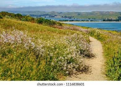 Scenic view with many wildflowers along trail at peninsular Bodega Head above Bodega Bay in Sonoma Coast State Park, northern California, on a sunny afternoon in spring